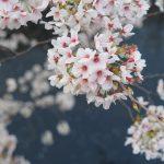 毎年恒例の神田川沿いの桜。